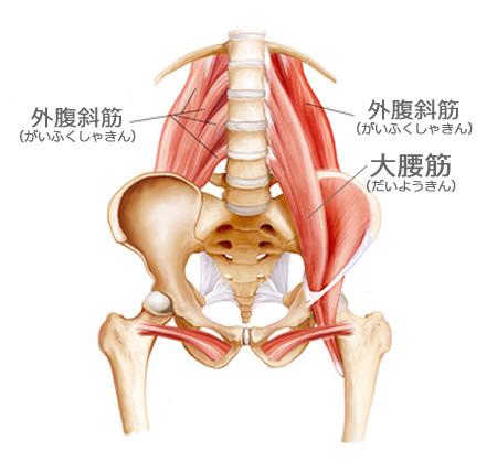 腰の骨と筋肉
